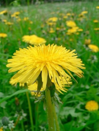 Dandelions were gathered to make wine on May 1st