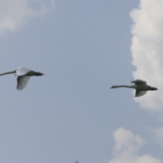Two swans flew overhead